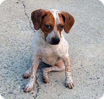 German Shorthaired Pointer Mix Dog for adoption in Huntsville, Alabama - Freckles