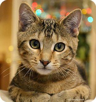 Domestic Shorthair Kitten for adoption in East Hartford, Connecticut - Frederick (arriving 12/2)