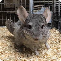 Adopt A Pet :: Benny - Hammond, IN