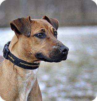 Vizsla Mix Dog for adoption in Midland, Michigan - Briar Rose
