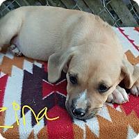 Boxer/Golden Retriever Mix Puppy for adoption in Niagra Falls, New York - Zina
