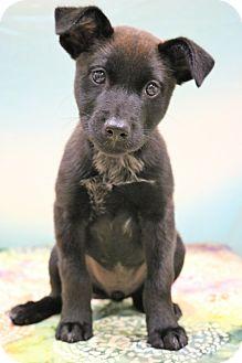 Labrador Retriever/Australian Shepherd Mix Puppy for adoption in Bedminster, New Jersey - Jude