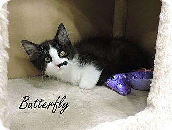 Domestic Mediumhair Kitten for adoption in Livonia, Michigan - Butterfly