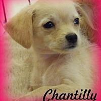 Adopt A Pet :: Chantilly - Anaheim Hills, CA