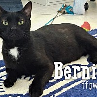 Adopt A Pet :: Bernie - Merrifield, VA