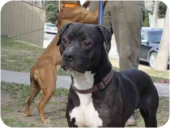 American Pit Bull Terrier Mix Dog for adoption in Medicine Hat, Alberta - Ozzie
