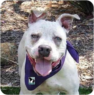 Pit Bull Terrier Puppy for adoption in San Diego, California - Frannie