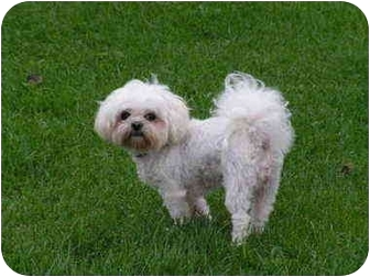 Bichon Frise Mix Dog for adoption in Rigaud, Quebec - Zsa Zsa