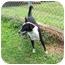 Photo 2 - Border Collie/Australian Cattle Dog Mix Dog for adoption in Stockton, Missouri - Julio