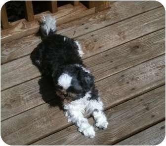 Shih Tzu Dog for adoption in Henrico, Virginia - Shelby