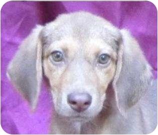Beagle/Terrier (Unknown Type, Small) Mix Dog for adoption in Cedartown, Georgia - Lily