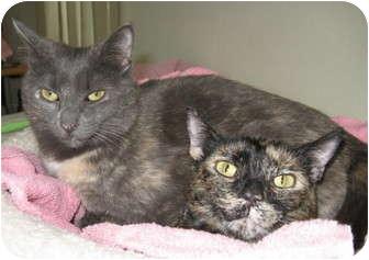 Domestic Shorthair Cat for adoption in Roseville, Minnesota - Crystal