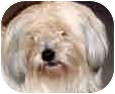 Havanese/Shih Tzu Mix Dog for adoption in Sacramento, California - Kep