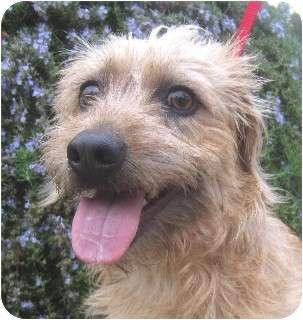 Schnauzer (Miniature) Mix Dog for adoption in Schertz, Texas - Jasper