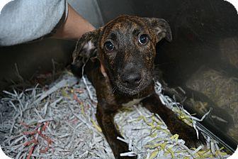 Terrier (Unknown Type, Medium) Mix Puppy for adoption in Edwardsville, Illinois - Helga
