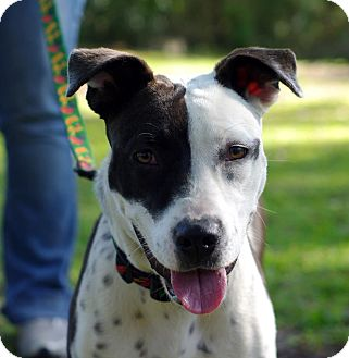 Pit Bull Terrier Mix Dog for adoption in Gainesville, Florida - Bonnie