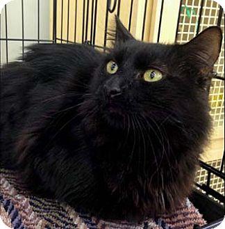 Domestic Longhair Cat for adoption in Merrifield, Virginia - Twizzles