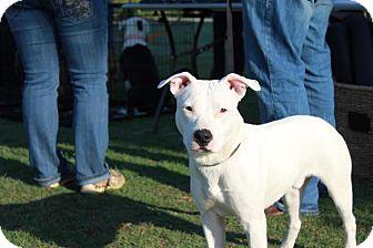 American Pit Bull Terrier Mix Dog for adoption in Owasso, Oklahoma - Ranger