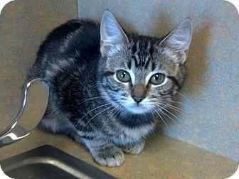 Domestic Shorthair Kitten for adoption in Flower Mound, Texas - Odette