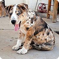 Adopt A Pet :: Bravo - Phoenix, AZ