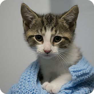 Domestic Shorthair Kitten for adoption in Staunton, Virginia - Punkin