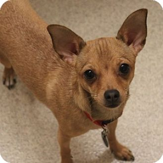 Chihuahua Mix Dog for adoption in Naperville, Illinois - Roo