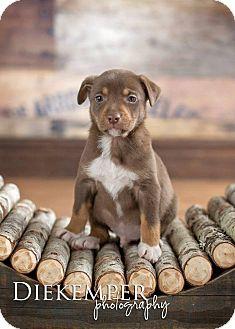 Labrador Retriever Mix Puppy for adoption in Vandalia, Illinois - Tex