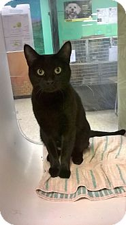 Domestic Shorthair Cat for adoption in Fort Smith, Arkansas - Macaroon