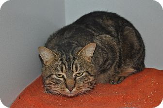 Domestic Shorthair Cat for adoption in Saint Albans, Vermont - Adonis