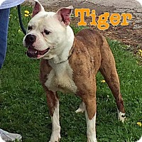 Adopt A Pet :: Tiger - Indianapolis, IN