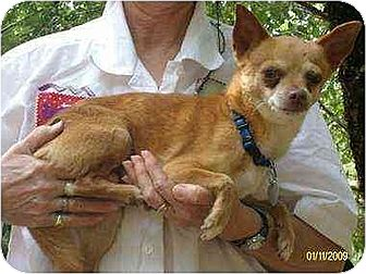 Chihuahua Dog for adoption in Oswego, New York - Chico