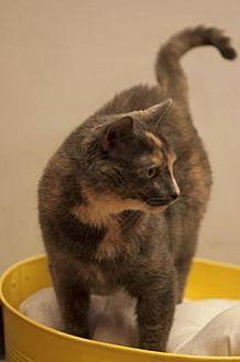 Domestic Shorthair Cat for adoption in Chaska, Minnesota - Sasha