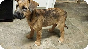 Schnauzer (Standard)/Golden Retriever Mix Puppy for adoption in Walker, Louisiana - Cindy