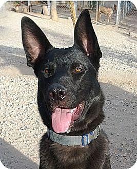 Shepherd (Unknown Type) Mix Dog for adoption in Toluca Lake, California - Jack Sparrow
