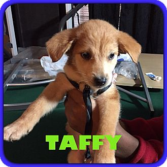 Labrador Retriever/Shepherd (Unknown Type) Mix Puppy for adoption in Olive Branch, Mississippi - Taffy-Male