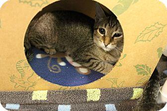 Domestic Shorthair Kitten for adoption in Medina, Ohio - Sadie