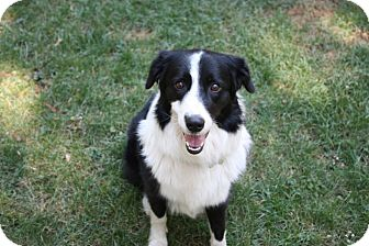 Border Collie Mix Dog for adoption in Corning, California - MADDIE