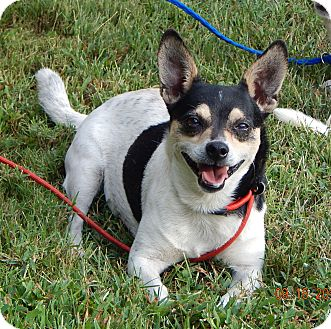 Rat Terrier/Terrier (Unknown Type, Small) Mix Dog for adoption in SUSSEX, New Jersey - Davidson(14 lb) Cool Lil Guy!