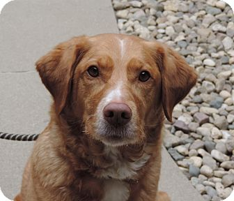 Golden Retriever/Labrador Retriever Mix Dog for adoption in Sioux City, Iowa - KAYLEE
