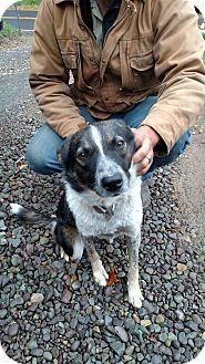 Blue Heeler/Labrador Retriever Mix Dog for adoption in Benton, Pennsylvania - Raegann