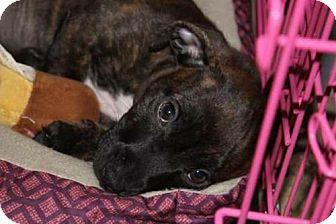 Boxer Puppy for adoption in Sanford, Florida - Maddie