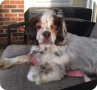 Cocker Spaniel Dog for adoption in Kannapolis, North Carolina - Mocha -Adopted!