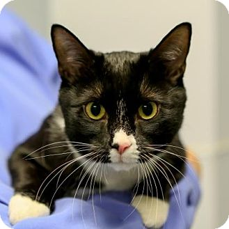 Domestic Mediumhair Cat for adoption in Staunton, Virginia - Kitty Nieto