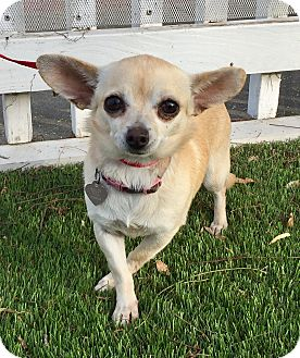 Chihuahua Mix Dog for adoption in Santa Ana, California - Khloe (BH)