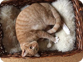 Domestic Shorthair Cat for adoption in Los Angeles, California - Jesse