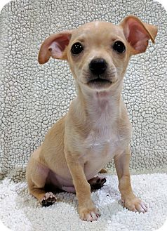 Chihuahua/Poodle (Miniature) Mix Puppy for adoption in Garland, Texas - Earl