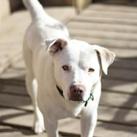 Labrador Retriever Mix Dog for adoption in Dodson, Montana - Abbot