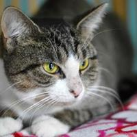Adopt A Pet :: Jewel Baby(FeLV+) - Annapolis, MD