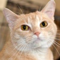 Adopt A Pet :: Amber - Tilton, IL