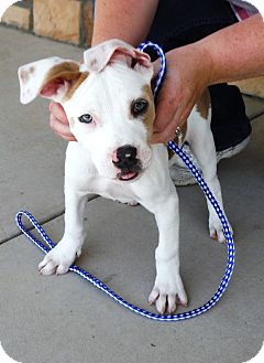 American Pit Bull Terrier Mix Puppy for adoption in Artesia, New Mexico - Angel